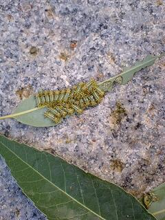 イラガの幼虫発生